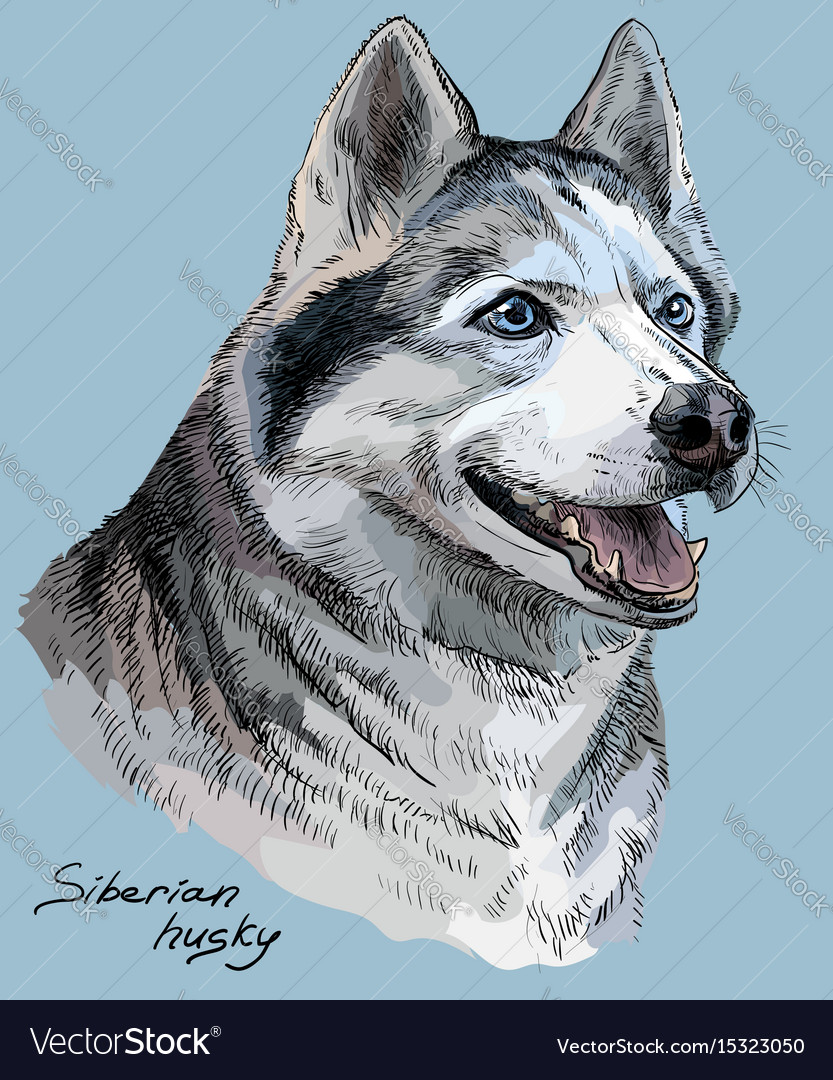 Colored hand drawing portrait of siberian husky vector image