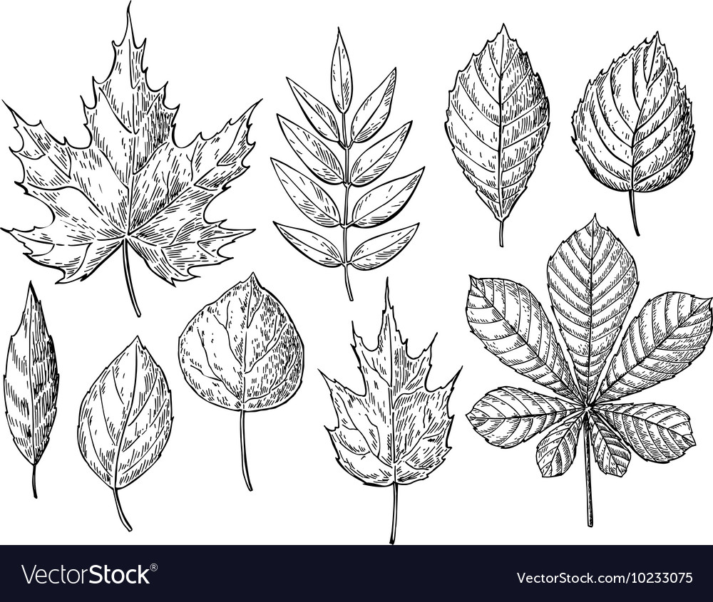 Autumn drawing leaves set Isolated objects