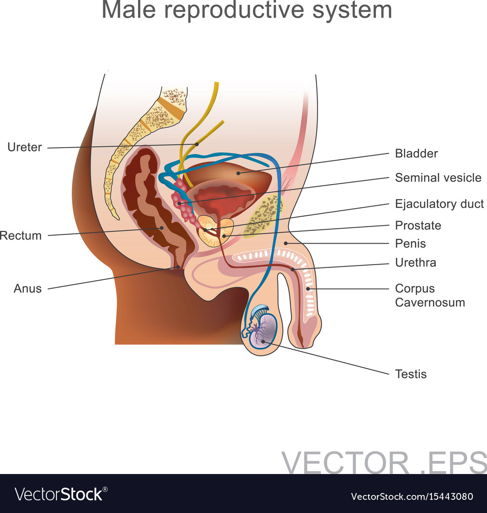 The Male Reproductive System Royalty Free Vector Image