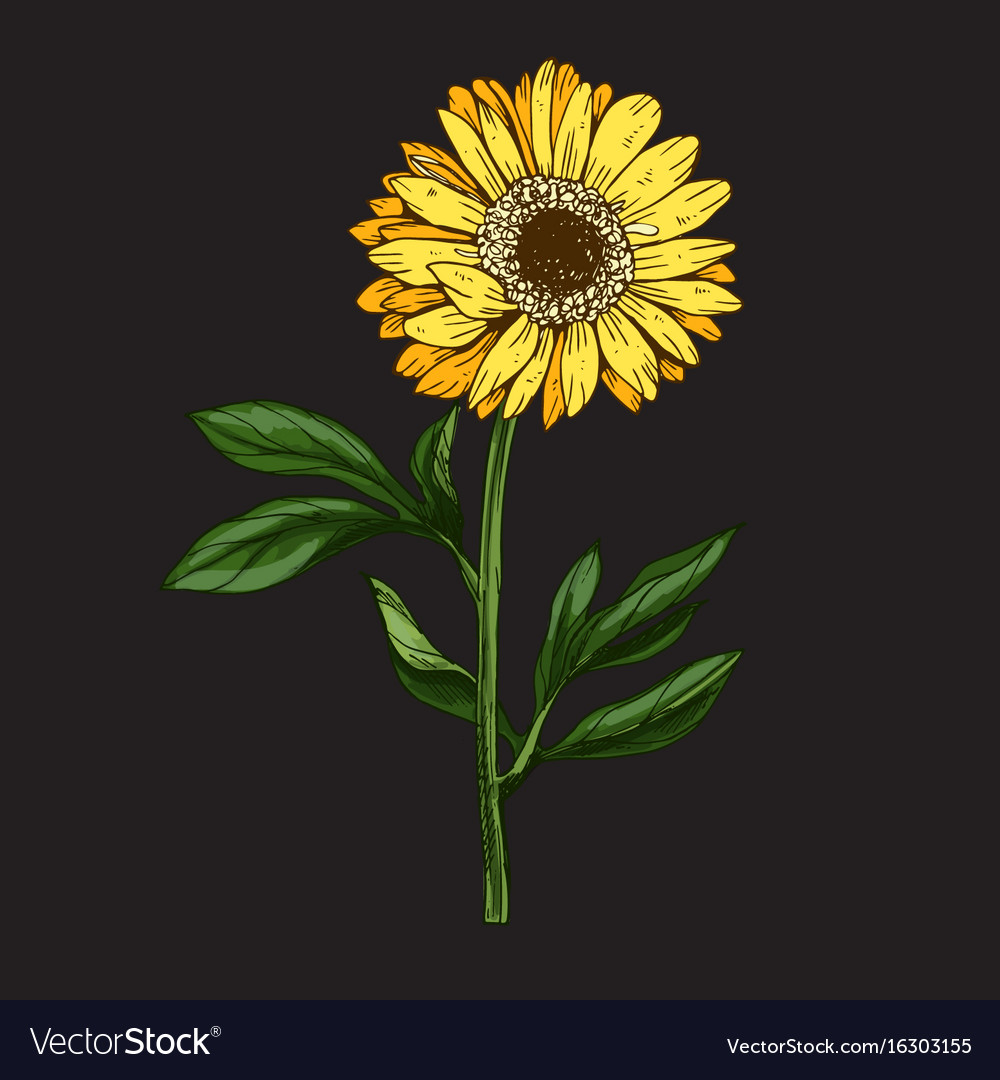 Hand drawn yellow daisy flower with stem