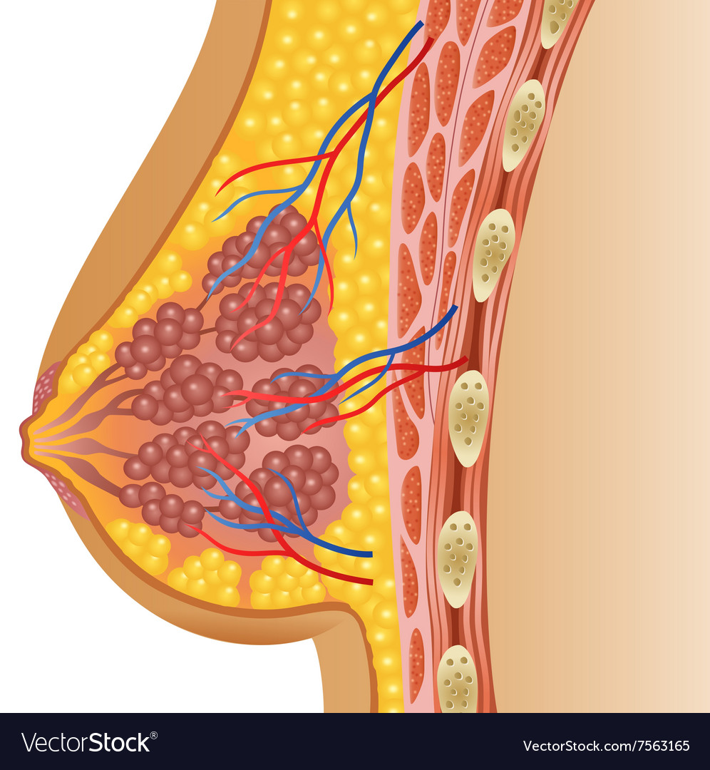 Cartoon of female breast anatomy Royalty Free Vector Image