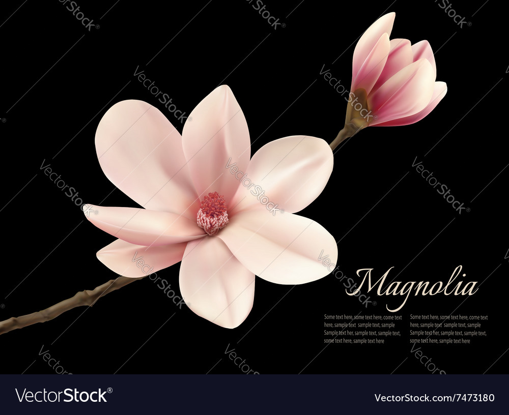 Branch With Two Pink Magnolia Flowers Royalty Free Vector
