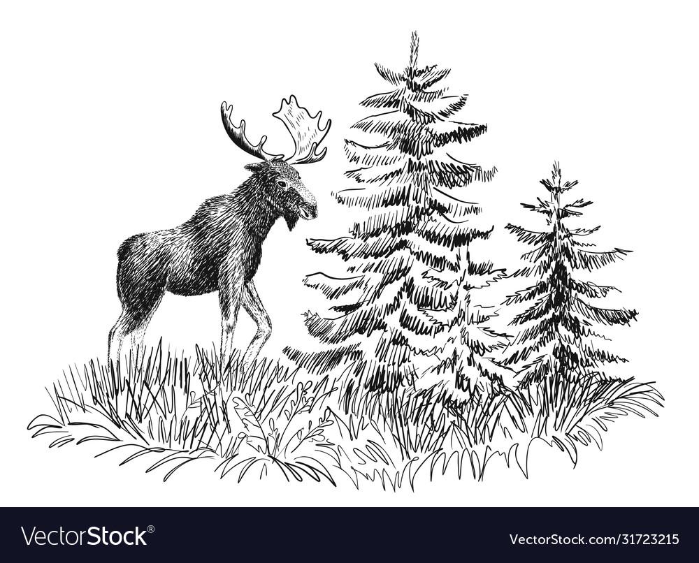 Moose in wild nature