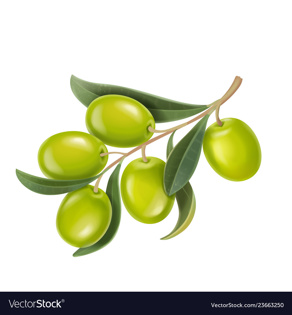 Realistic green olives branch