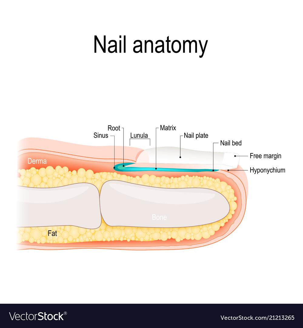Nail anatomy Royalty Free Vector Image - VectorStock