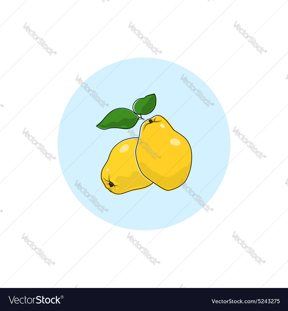 Icon Colorful Quince vector image