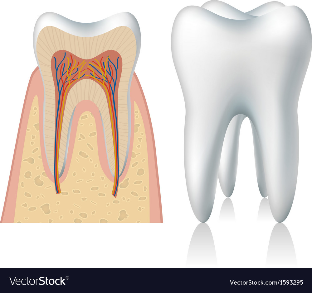 Tooth anatomy Royalty Free Vector Image - VectorStock