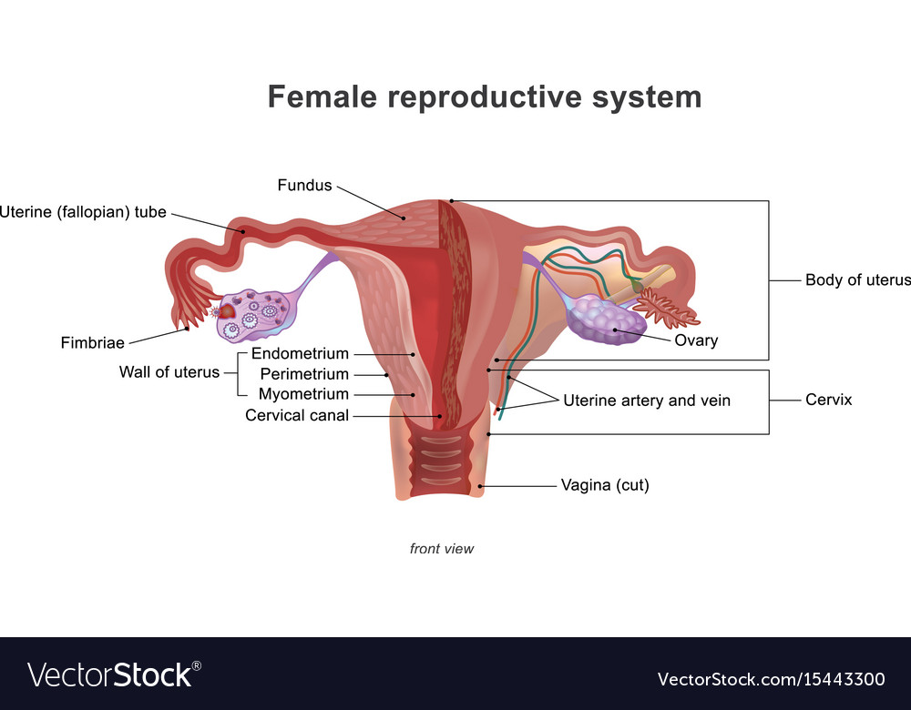 The female reproductive system Royalty Free Vector Image