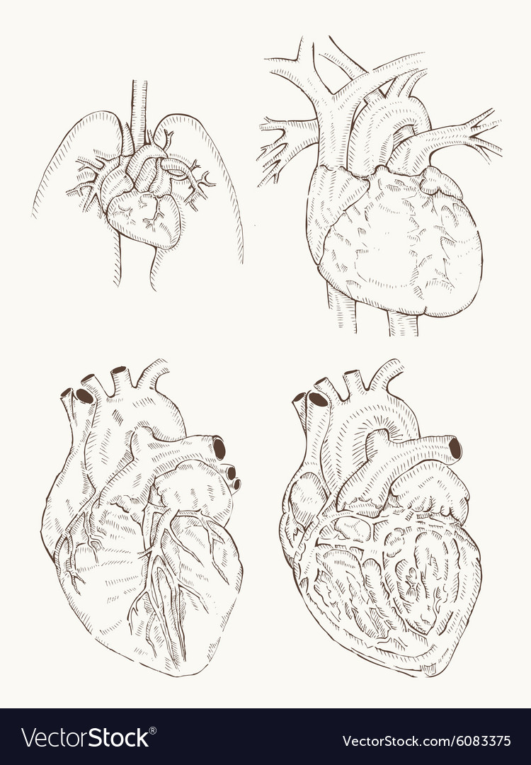 Heart Anatomy Hand Draw Royalty Free Vector Image