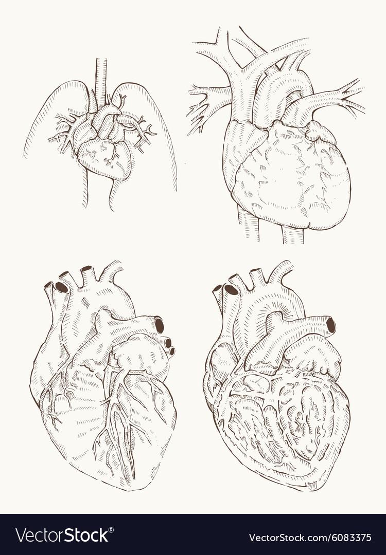 Heart anatomy hand draw Royalty Free Vector Image