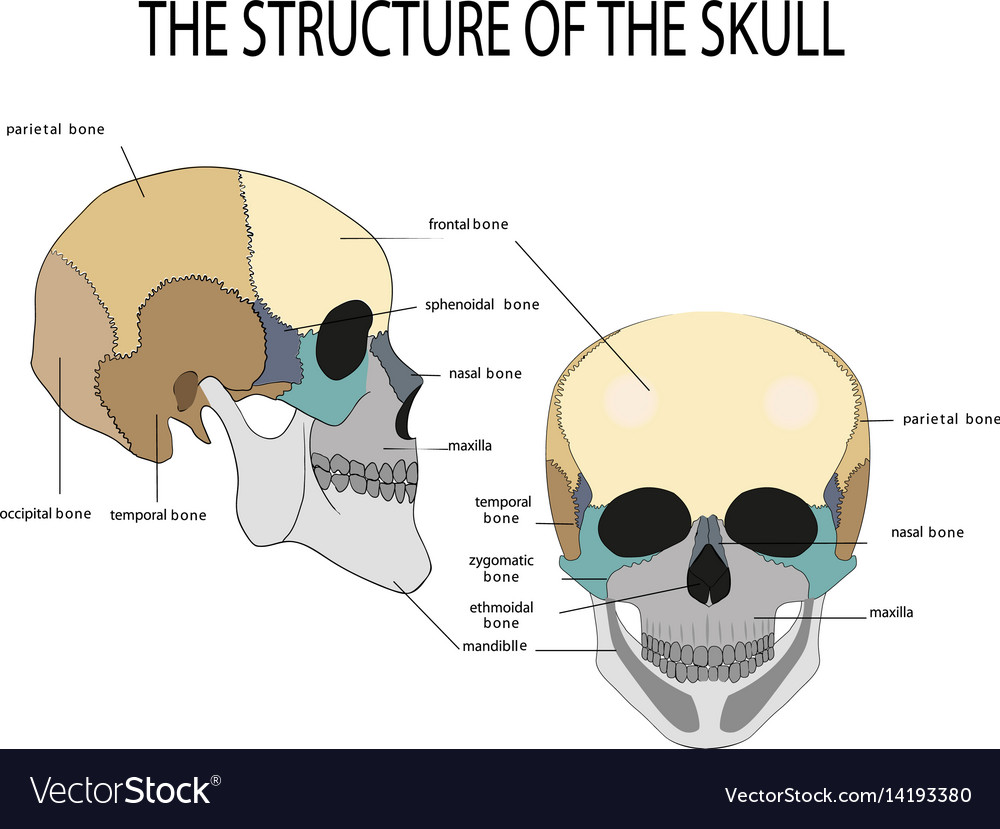 Anatomy Of The Human Skull Royalty Free Vector Image