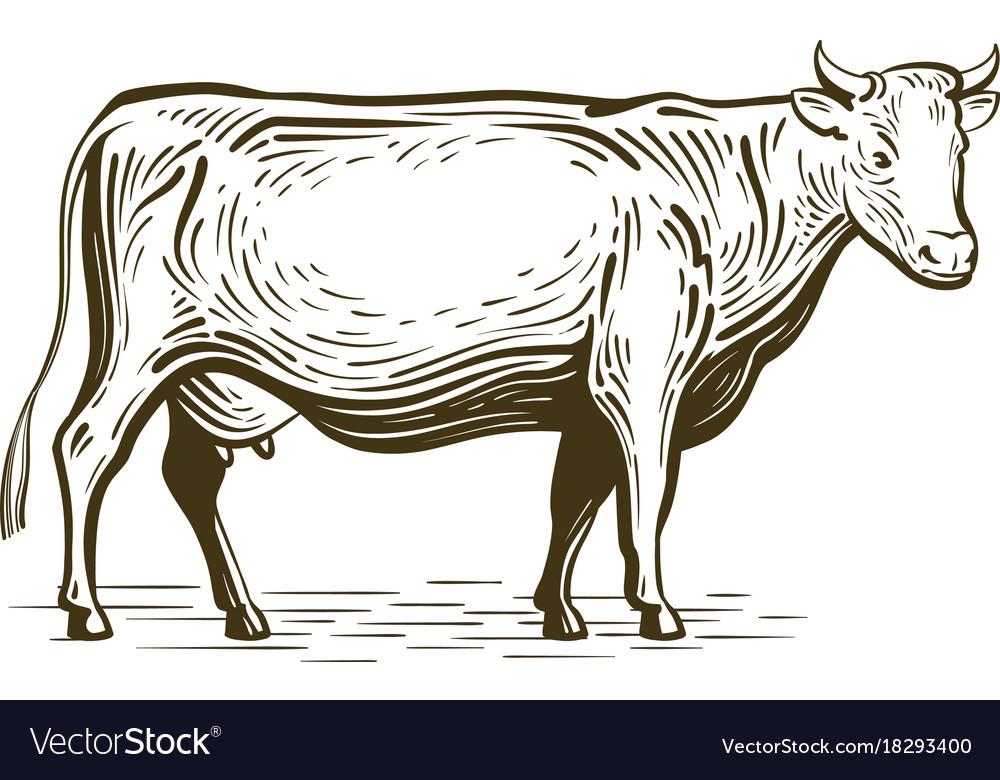 Farm animal cow standing sketch dairy farm vector image