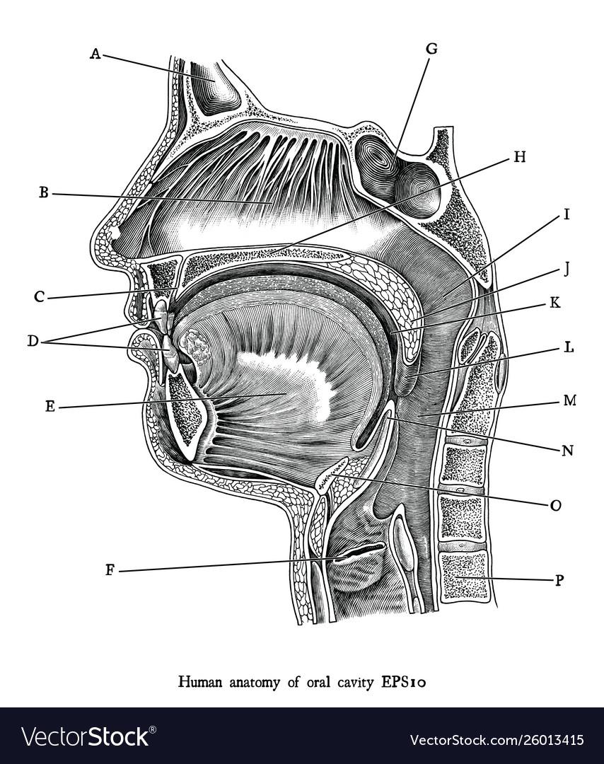 Antique engraving human oral cavity