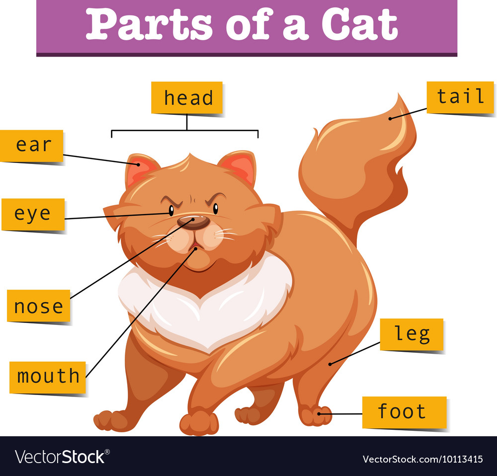 Diagram Showing Parts Of Cat Royalty Free Vector Image