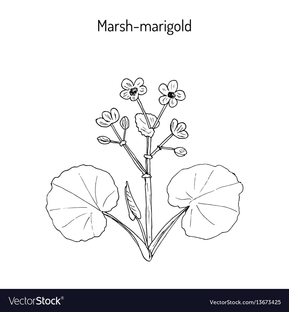 Marsh marigold or kingcup caltha palustris