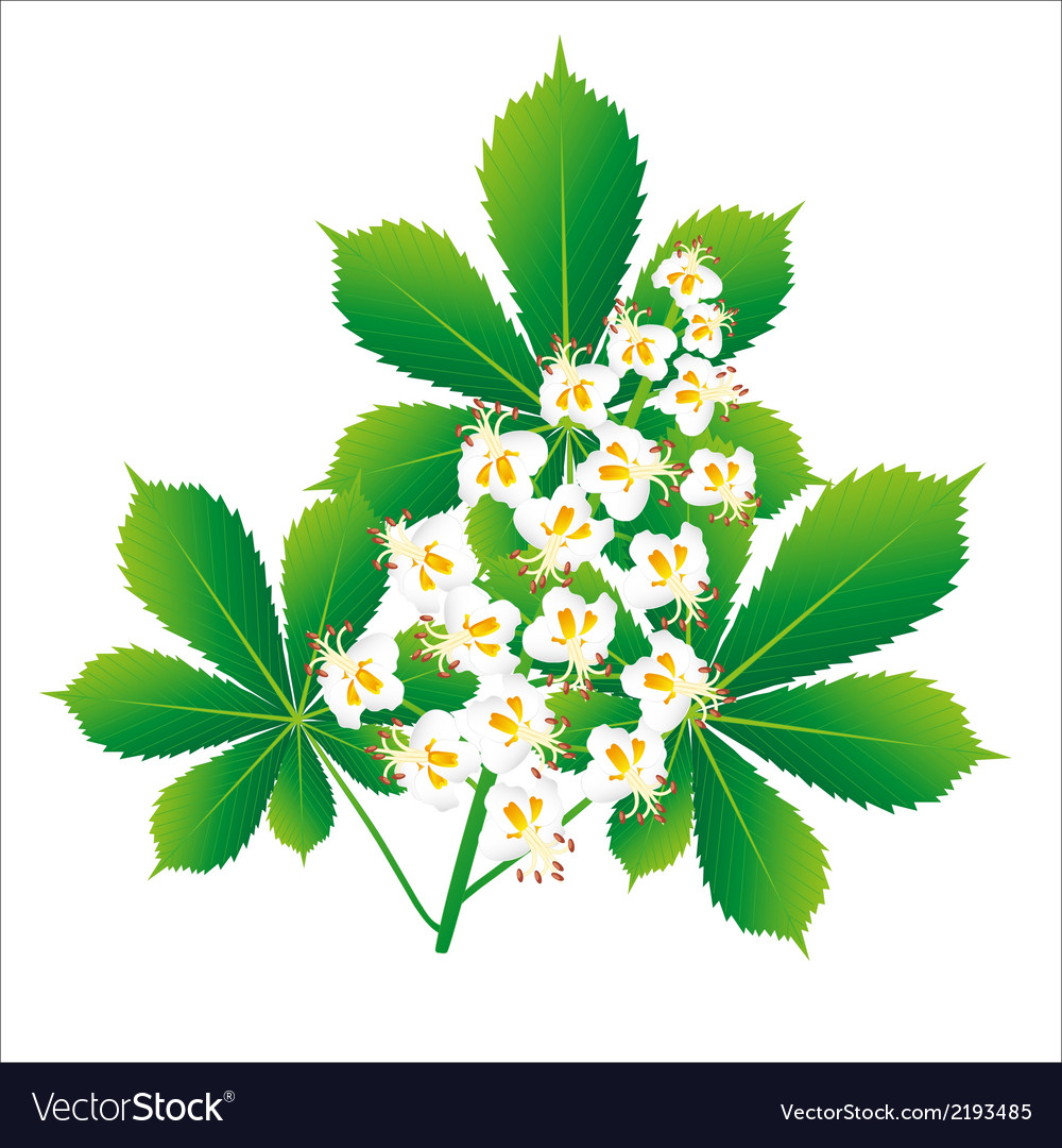 Horse Chestnut Flower Isolated Object Royalty Free Vector
