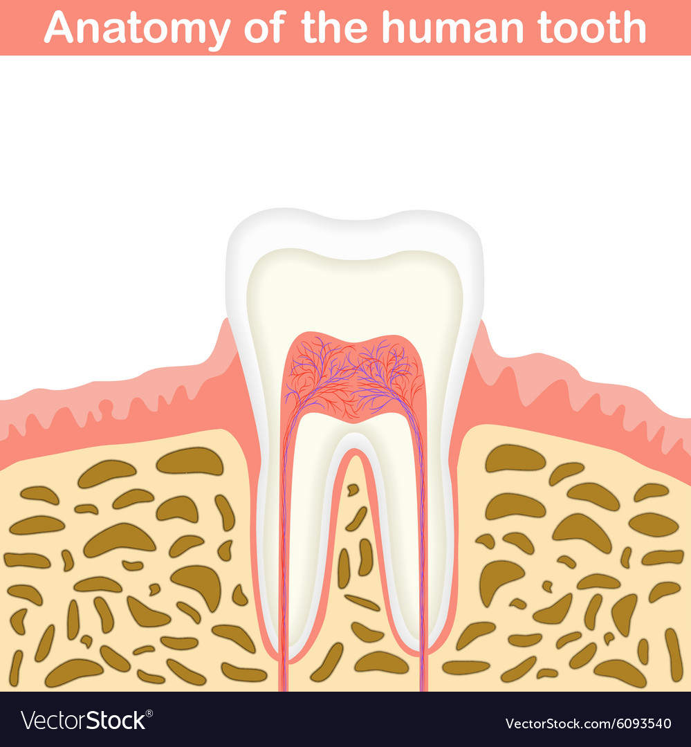 Anatomy Of Human Tooth Royalty Free Vector Image