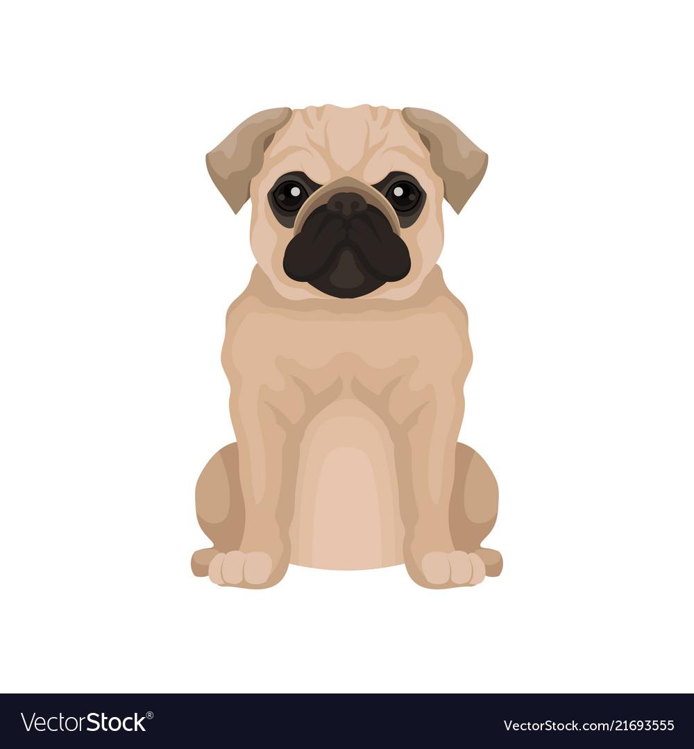 Flat icon of cute pug puppy small domestic