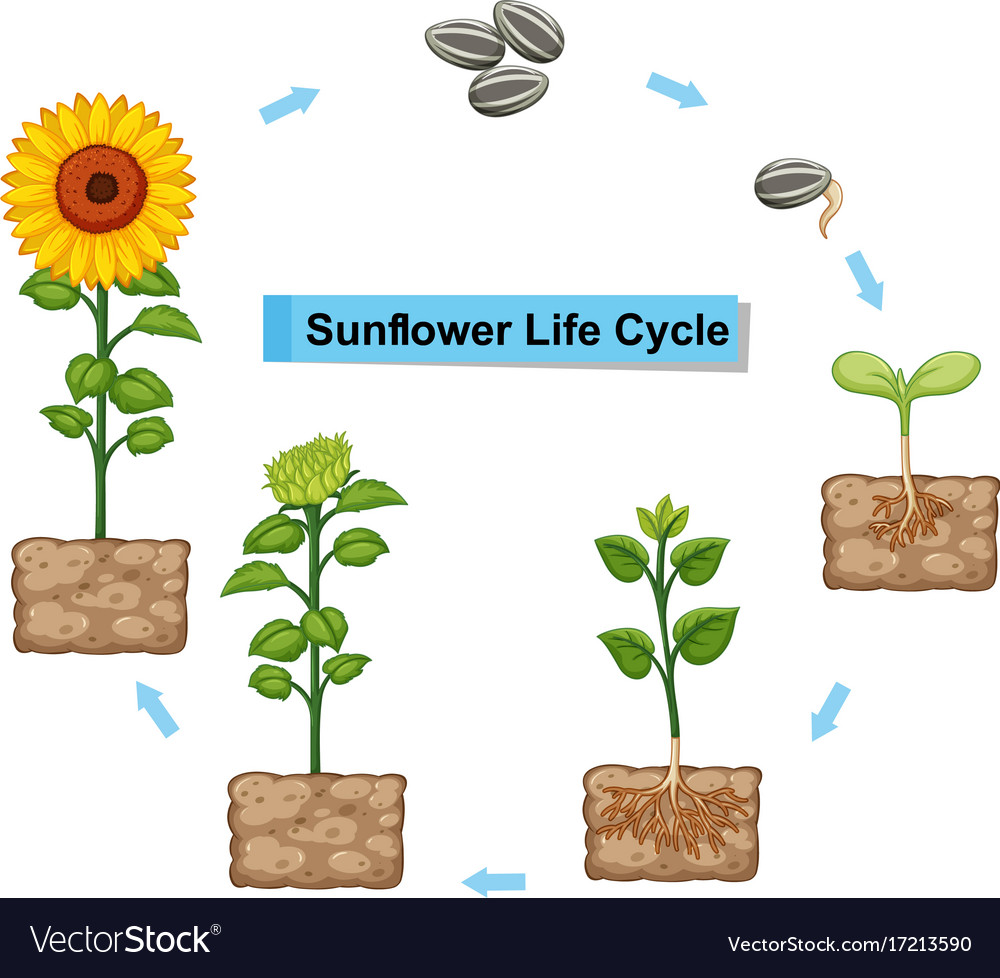 diagram showing life cycle of sunflower vector 17213590