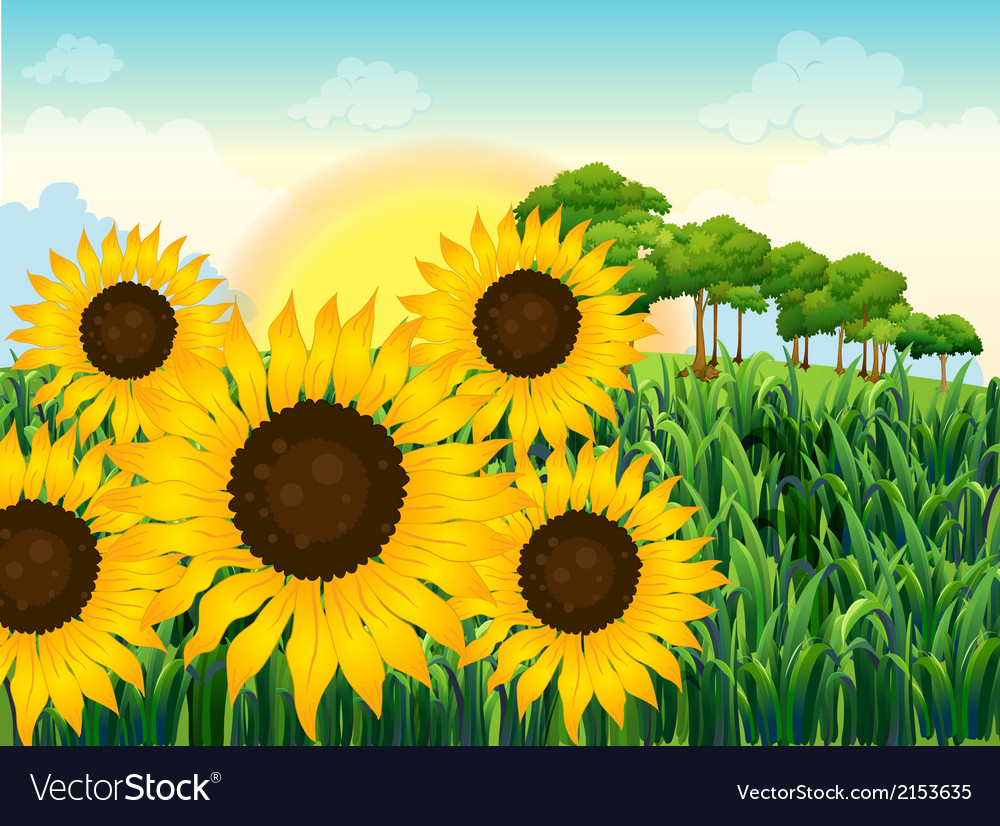 Beautiful Sunflowers Royalty Free Vector Image