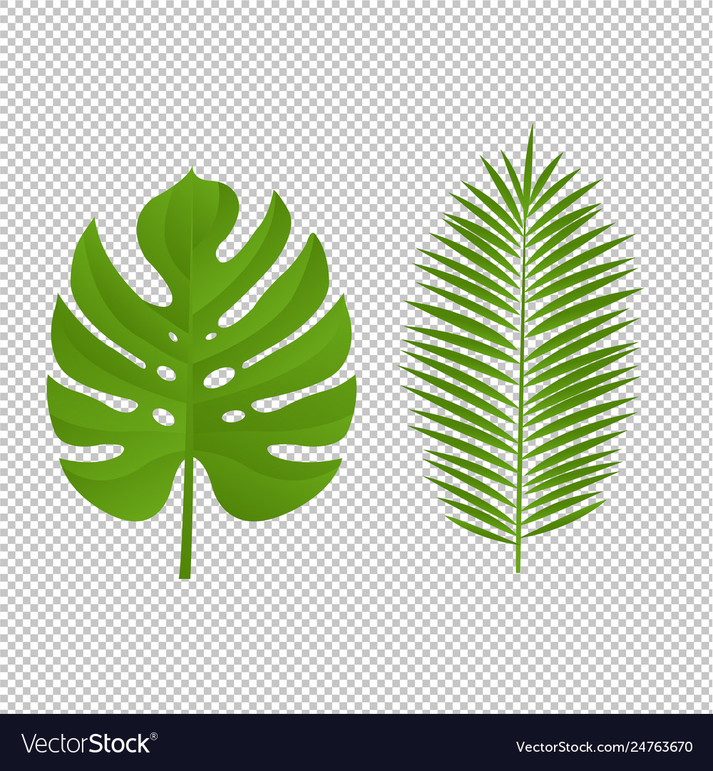 Monstera palm branch isolated white background