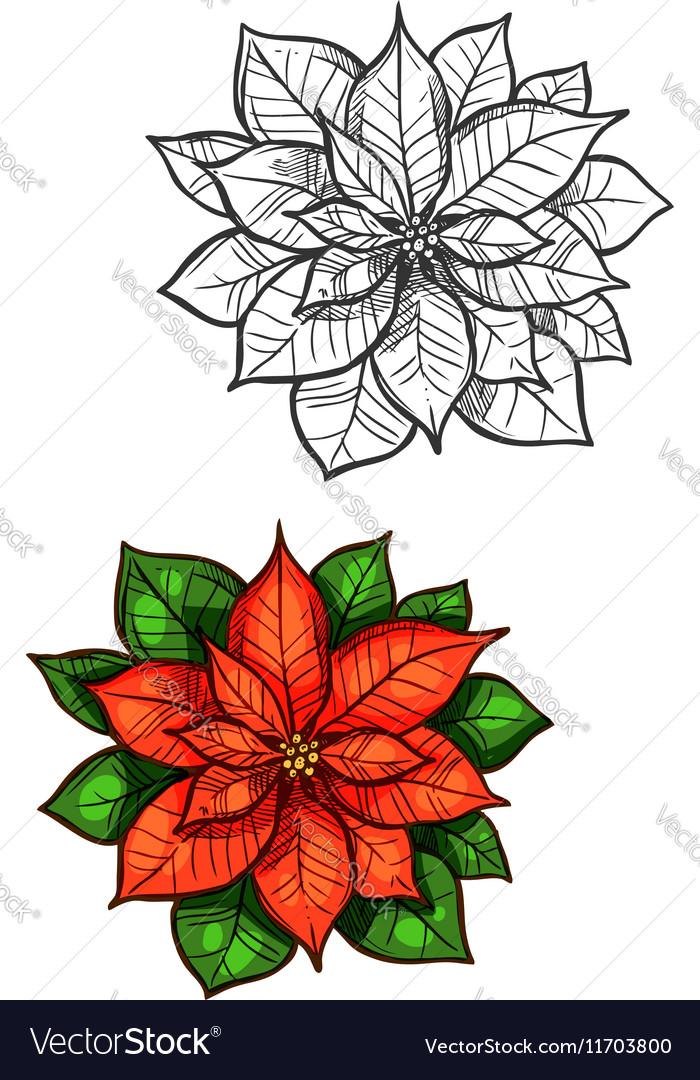Christmas poinsettia star flower isolated sketch