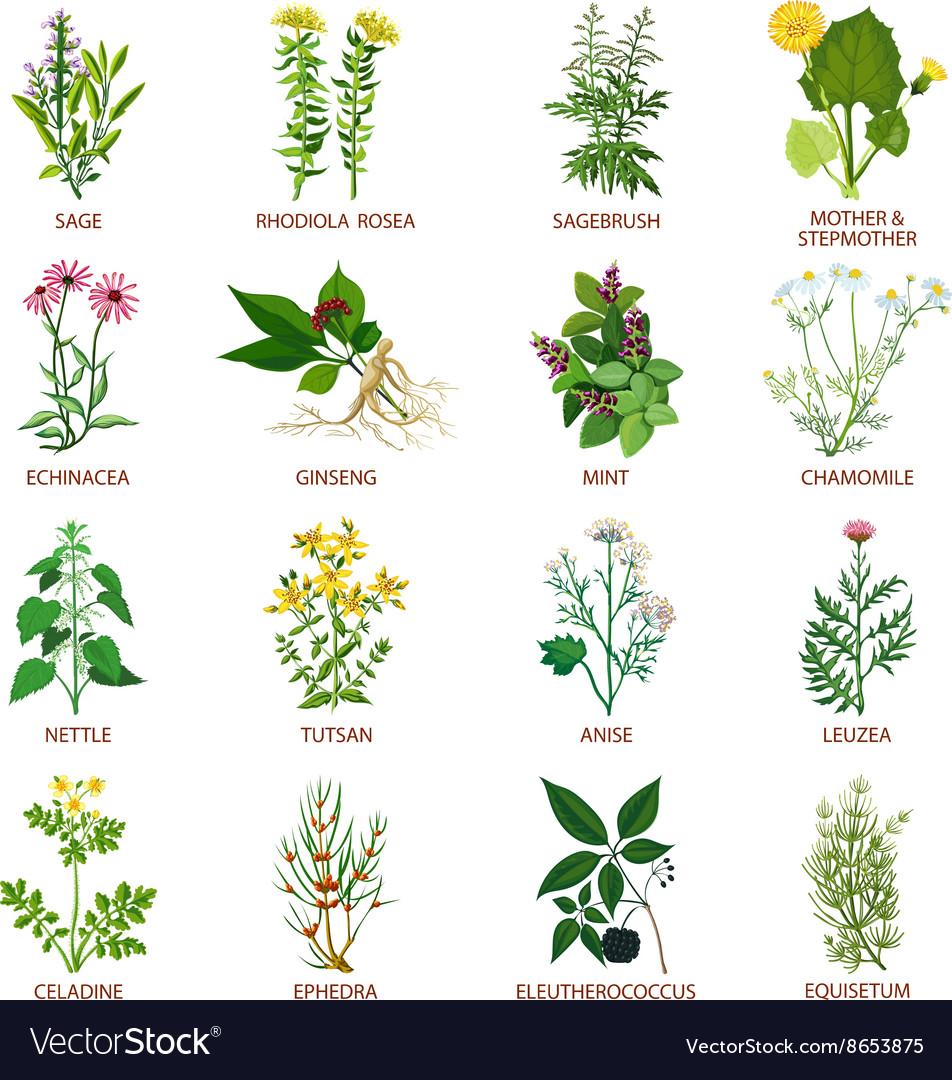 Medicinal Herbs Icons Flat Royalty Free Vector Image