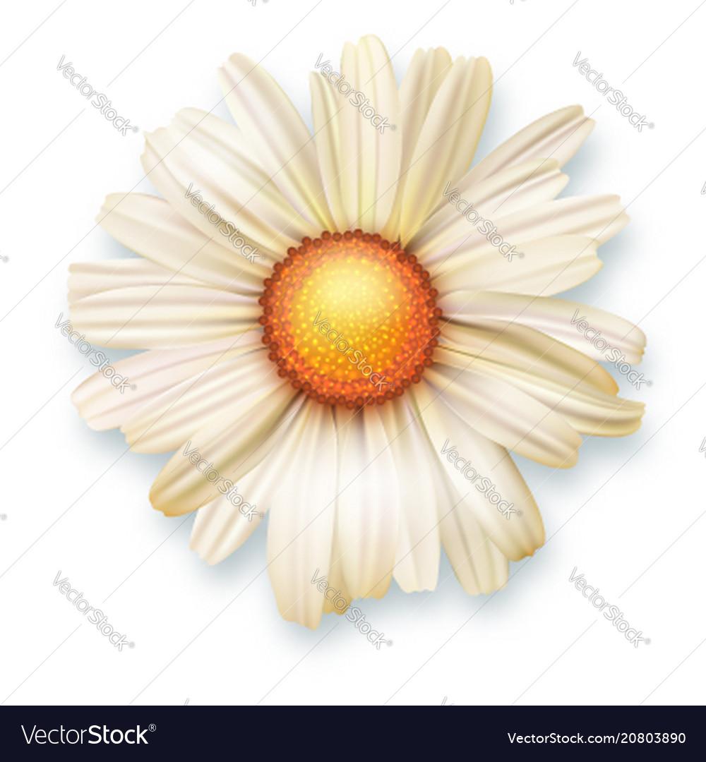 White chrysanthemum flower top view 3d royalty free vector white chrysanthemum flower top view 3d vector image mightylinksfo