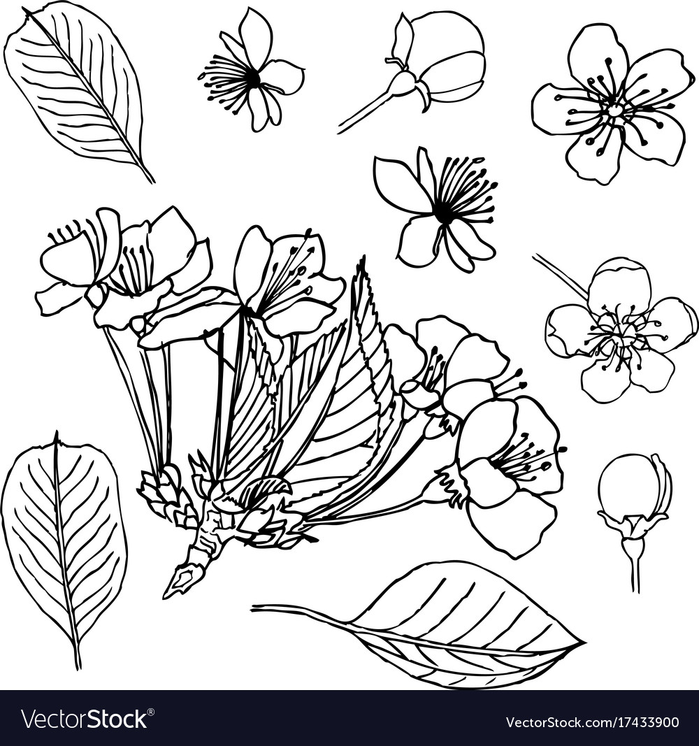 Flower Bud Drawing Flowers Healthy Rose Line Diagram Simple Of Stock Vector Apple Blossom Leaves Buds Liner Image Royalty Free