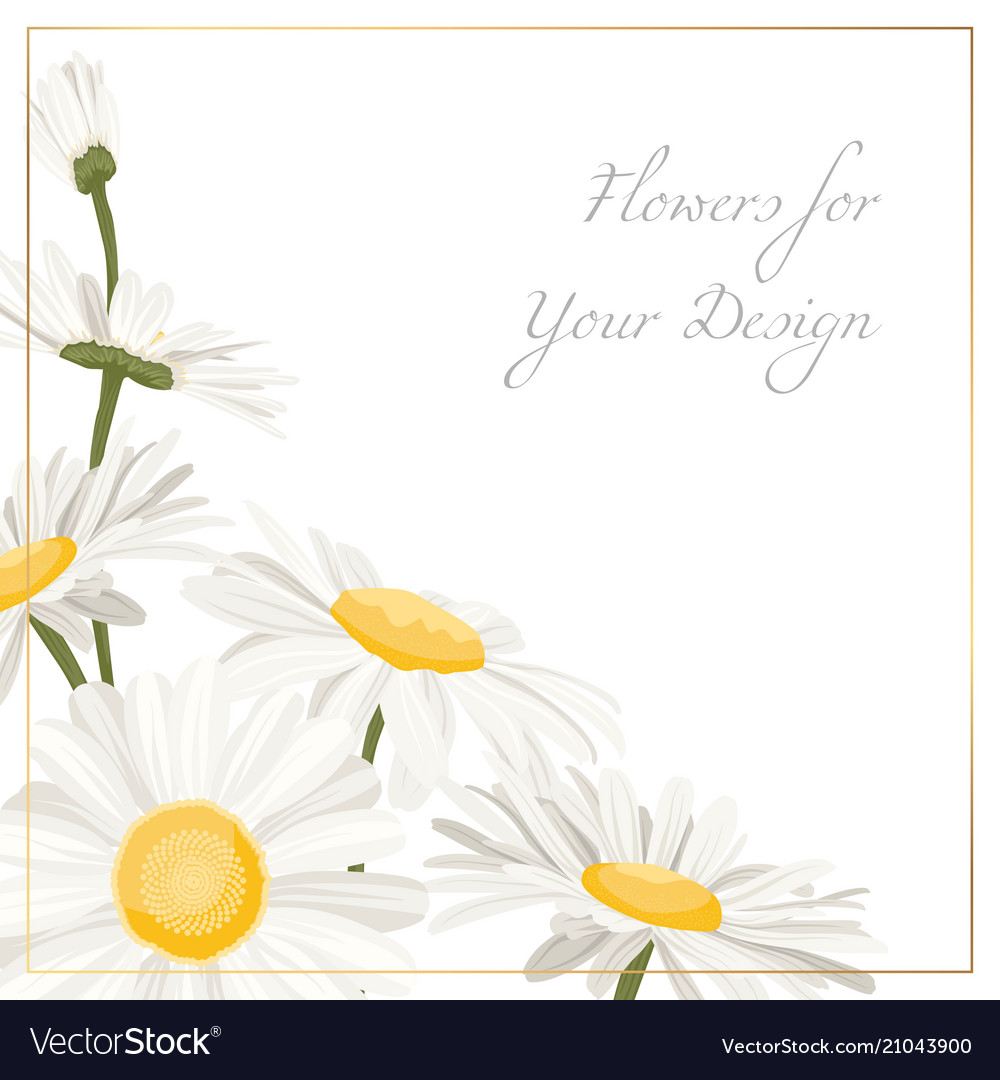 Chamomile daisy flowers herbs bouquet isolated