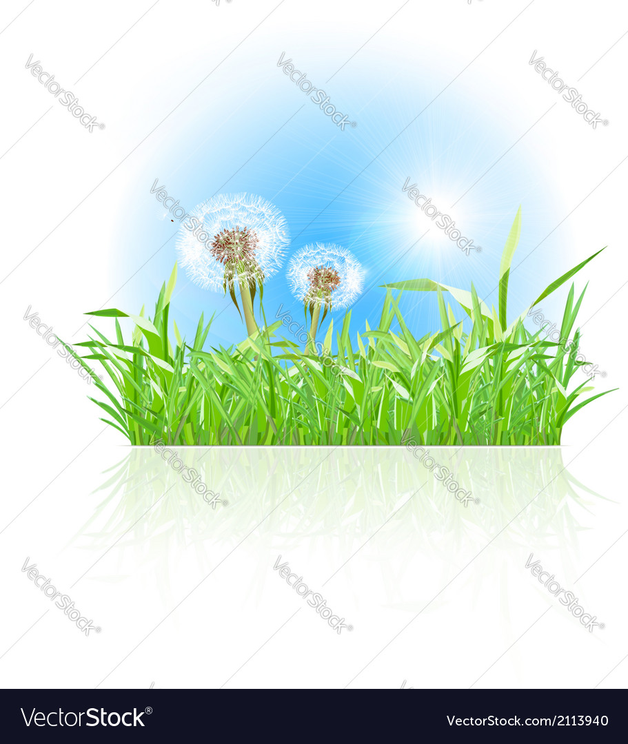 Green grass ith dandelion on white background