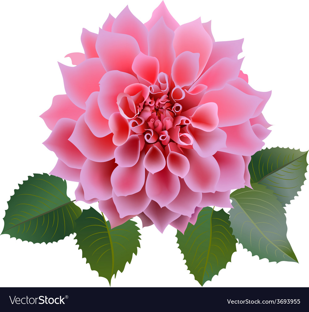 Pink chrysanthemum or dahlias flower with leaves vector image izmirmasajfo