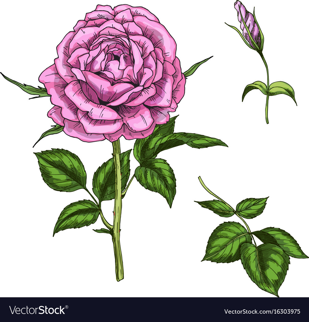 Set with rose flower bud leaves and stems vector image
