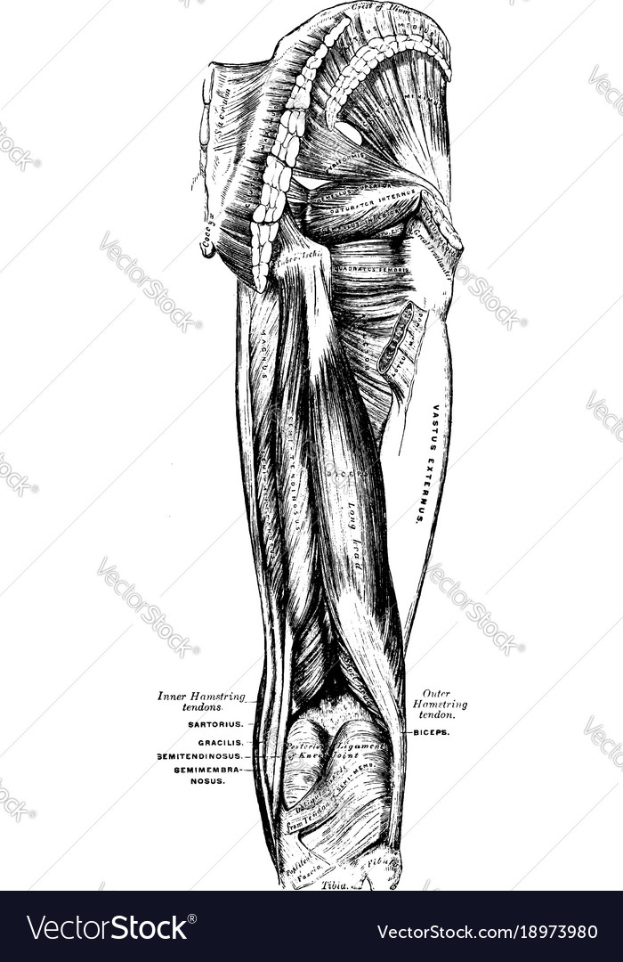 Muscles Of The Hip And Thigh Vintage Royalty Free Vector