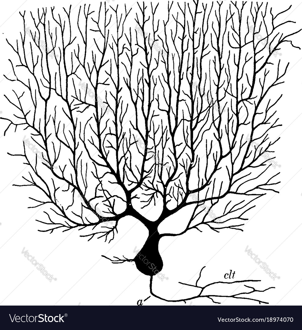 Purkinjean cell from cerebellum vintage vector image