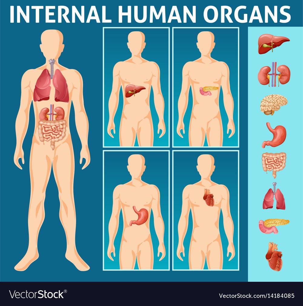 Cartoon human body internal parts concept vector image