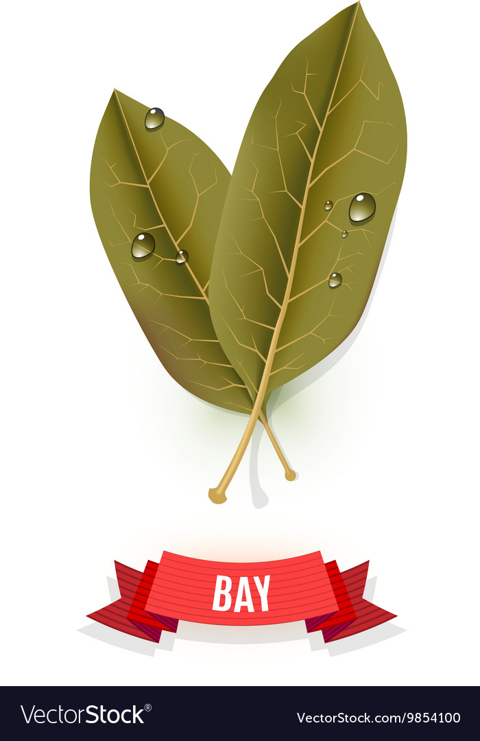 Leaves of California bay Indian bay Indonesian vector image