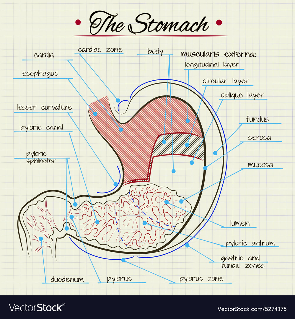 Anatomy Of The Stomach Royalty Free Vector Image