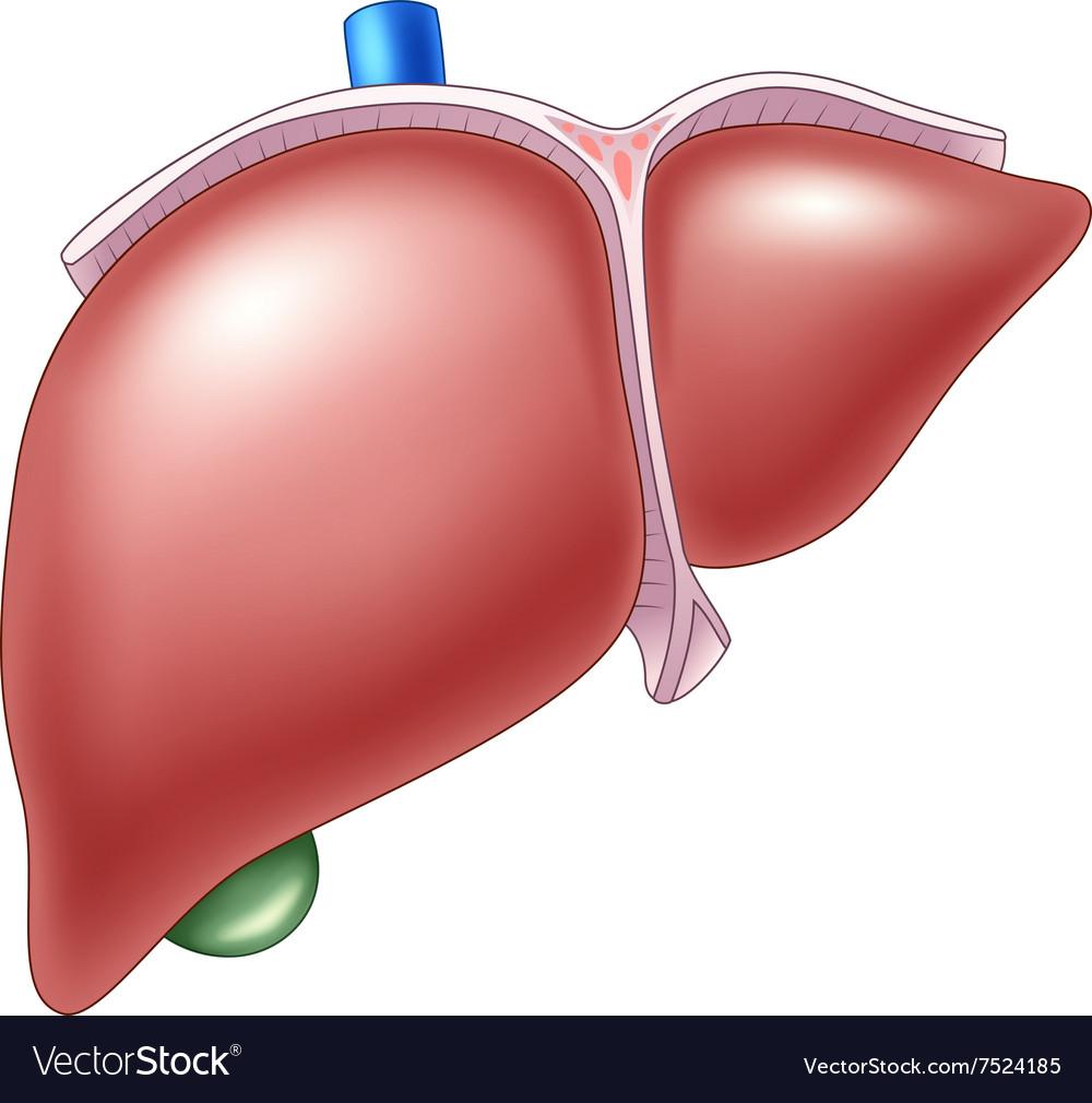 Cartoon of Human Liver Anatomy Royalty Free Vector Image