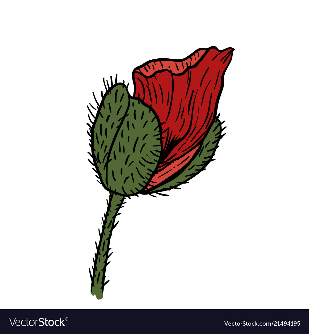 Poppy flowers hand drawn can be used in design
