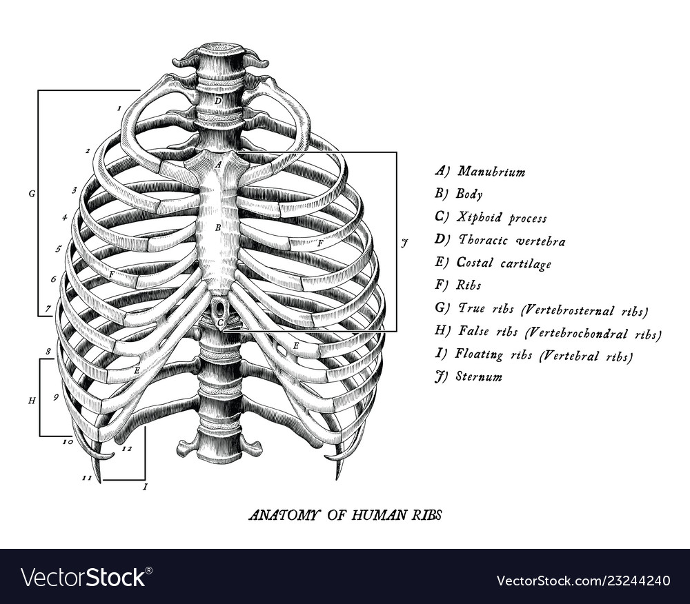 Anatomy Of Human Ribs Hand Draw Vintage Clip Art Vector Image