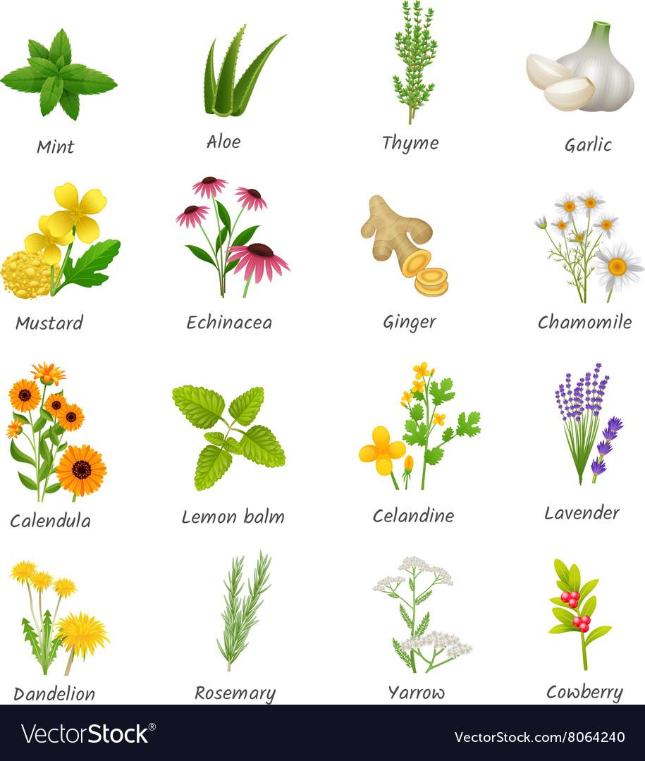 Medicinal Herbs Plants Flat Icons Set Royalty Free Vector