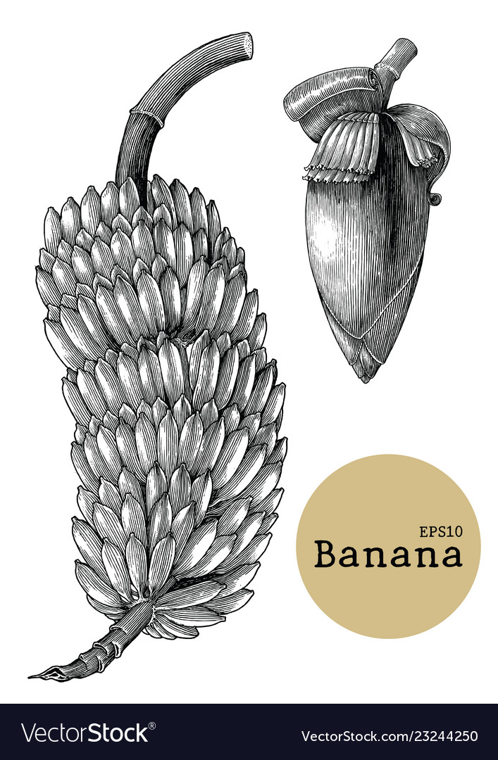 Banana collection sets hand drawing vintage