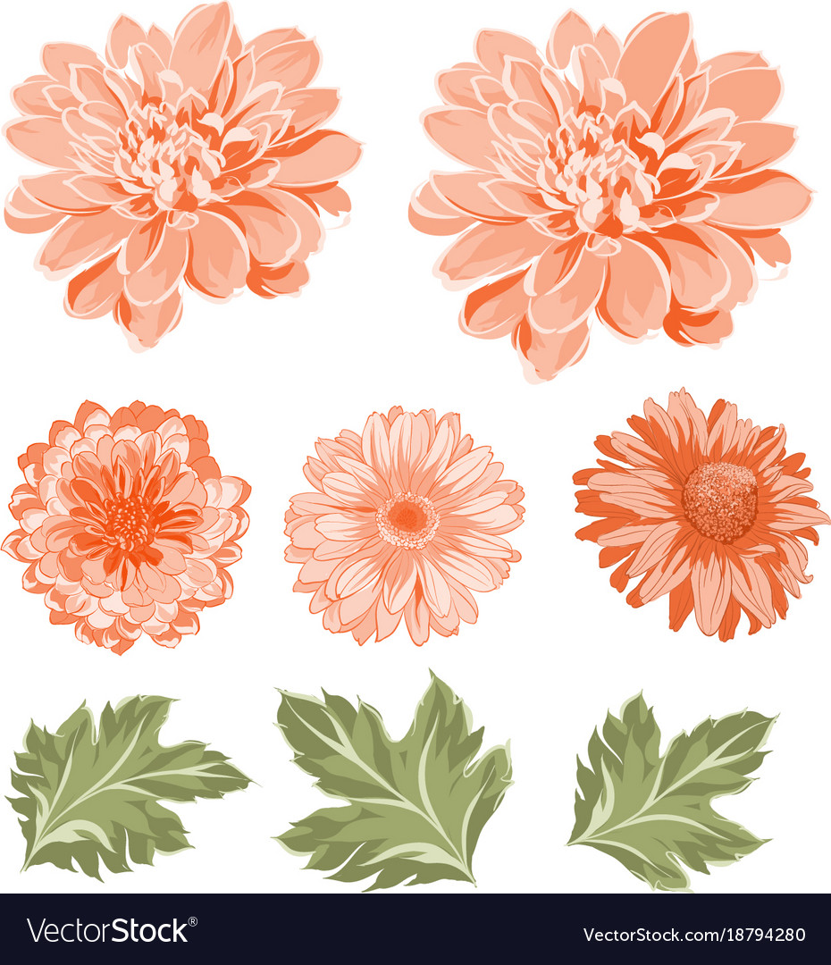 Set of chrysanthemum flowers elements vector image