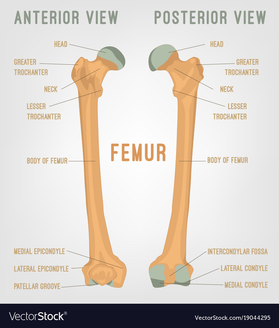 Colorful Femur Picture Collection Human Anatomy Images