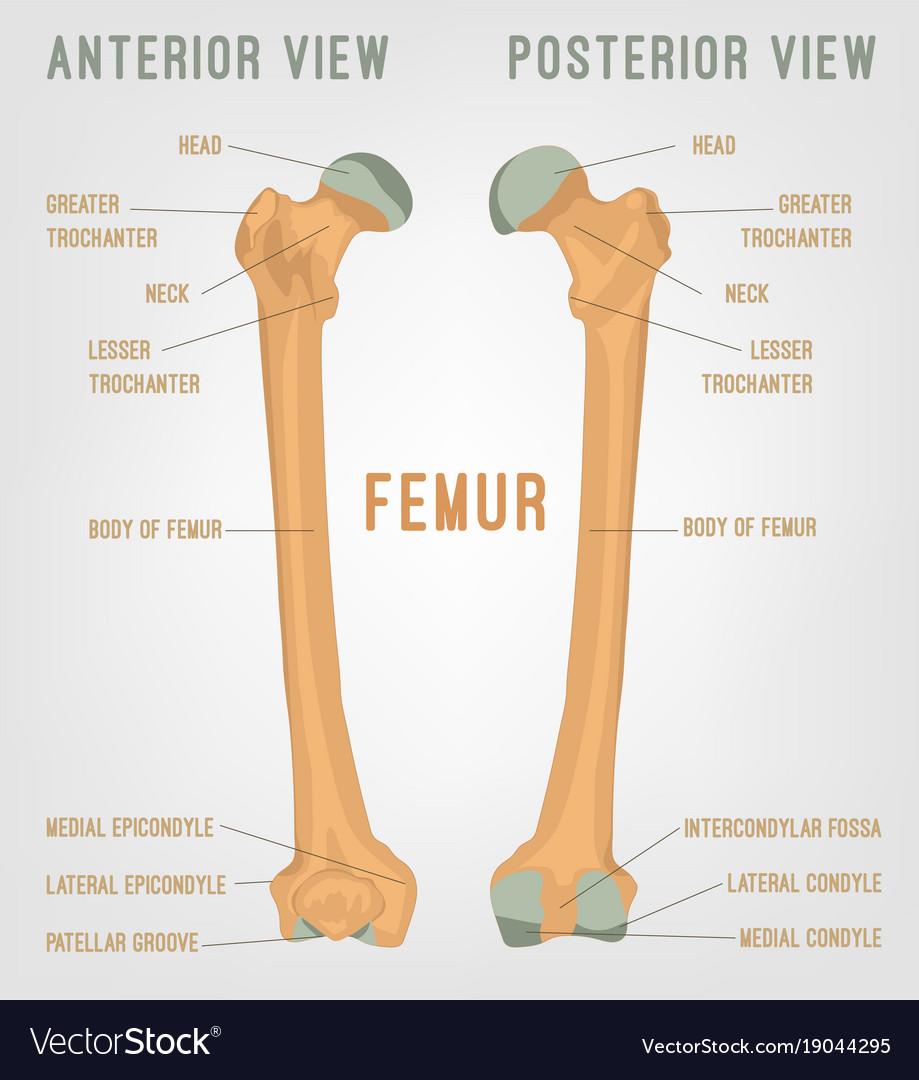 Human femur bones Royalty Free Vector Image - VectorStock