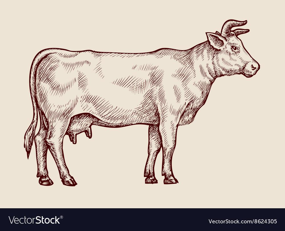 Sketch cow Hand drawn vector image