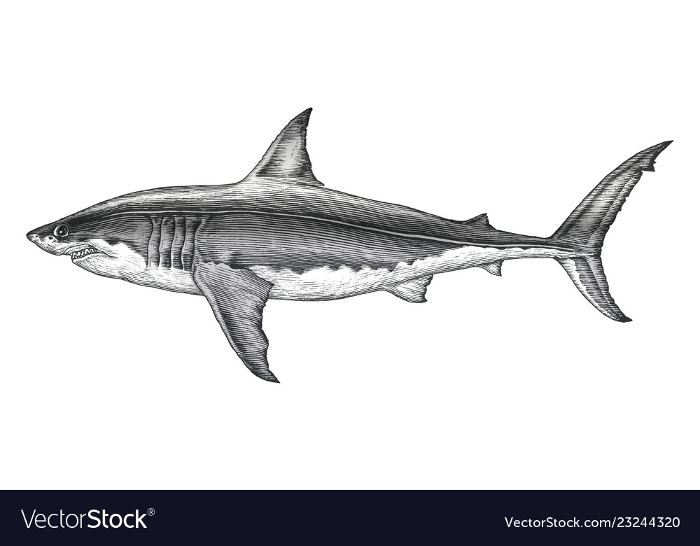 Great white shark hand drawing vintage engraving