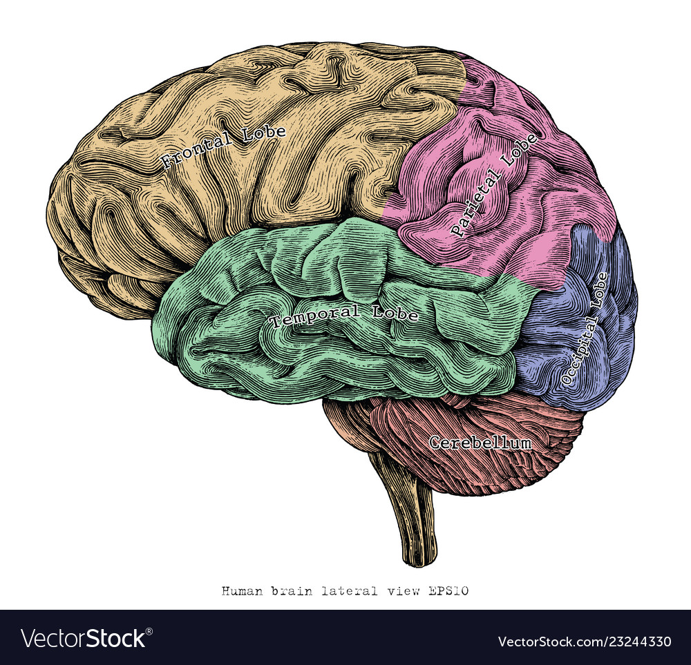 Human brain lateral view hand drawing vintage