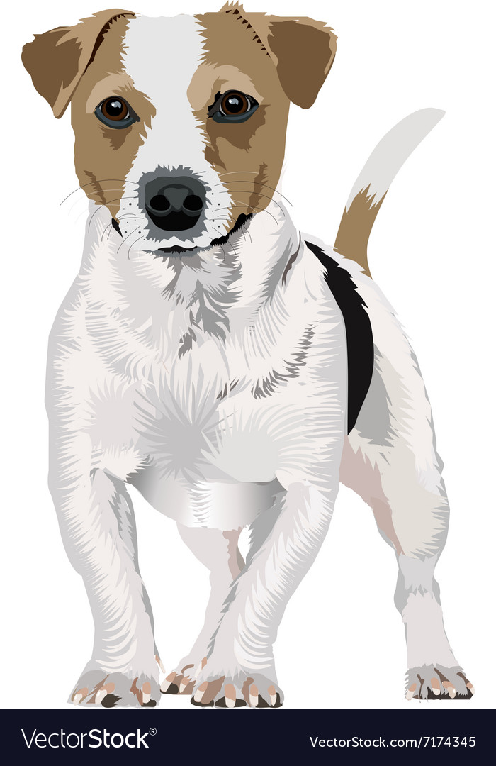 jack russell terrier new version royalty free vector image